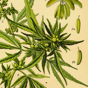 Cannabis sativa plant illustration